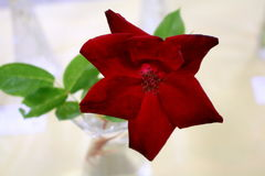 Single red rose with leaves. Downshot view of delicate single blooming red rose with leaves in clear glass vase Stock Photos