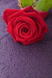 Single red rose for love Royalty Free Stock Image