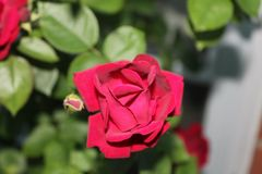A single red rose for my love stock photo