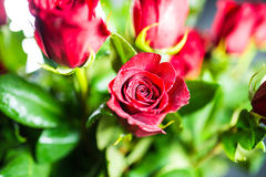Single Red rose. With other roses royalty free stock image