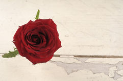 Single red rose over white wooden background. Royalty Free Stock Image