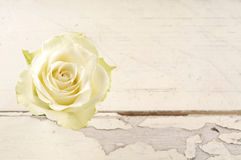 Single red rose over white wooden background. Stock Images