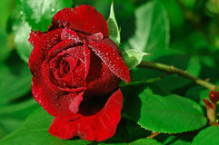 Single red rose pearled with dew. Single red rose in green background Stock Image