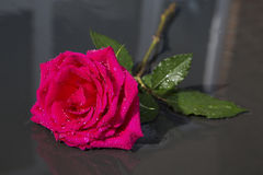 Single Red Rose with Rain Water Drops Stock Photo