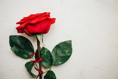 Single red rose with red ribbon on white plastered background, beautiful texture, copy space royalty free stock photo