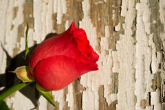 Single Red Rose on Rustic Background Stock Image