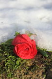 Single red rose in the snow Royalty Free Stock Photos