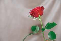 Single red rose on grey background. Single red rose with steam before grey background with some wrinkles stock images