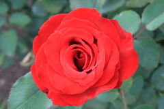 Single Red Rose. Taken in the rose garden of Leif Erickson Park in Duluth, Minnesota Royalty Free Stock Images