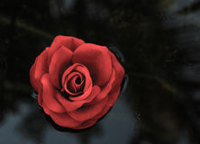 Single red rose to swim on the water- black background Stock Photos