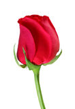 Single red rose, on white. Stock Photos