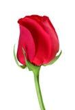 Single red rose, on white. Stock Photos