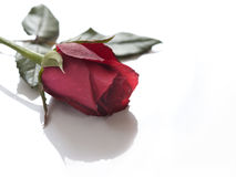 Single red rose on white background Stock Photos