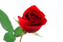 Single red rose on white background. Red rose on white background Stock Photo