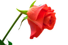 A single red rose Stock Image