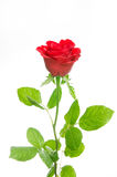 Single red rose on white background Royalty Free Stock Images