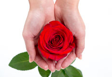 Single red rose in a woman's hand on white background Royalty Free Stock Image