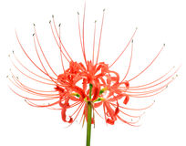 Single red spider lily flower cluster isolated over a white background stock photo