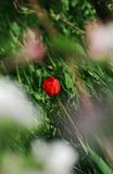 Single Red Tulip. A single red tulip seen through blurred petals Stock Photo