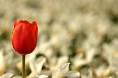 Single red tulip Royalty Free Stock Images
