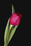 Single Red Tulip Stock Photography