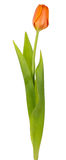 Single red tulip Royalty Free Stock Image