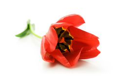 Single red tulip close-up. Over white Stock Photos