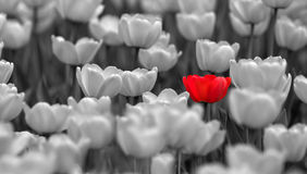 Single red tulip in field colorless stock photo