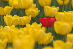 Single red tulip in field of yellow Stock Photography