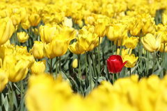 Single Red Tulip. In a field of yellow. Being different. Stand out in a crowd royalty free stock photo