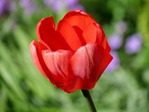 Single red tulip. In garden Royalty Free Stock Images