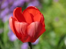 Single red tulip. In garden Stock Photos