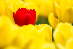 Single Red Tulip. Tulip Garden in Lyndale Park, Minnesota Stock Photography