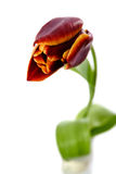 Single Red Tulip Royalty Free Stock Photography