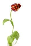 Single Red Tulip Stock Photos