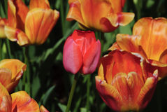 Single  red tulip mixed in with orange Stock Photography