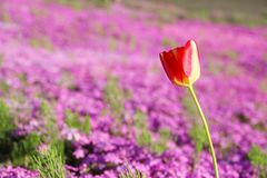 Single red tulip with pink background Royalty Free Stock Photos