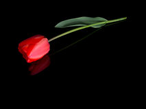 Single red tulip with raindrops, lying on shiny black surface with reflection Royalty Free Stock Photo