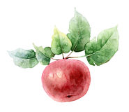 Single red watercolor apple Stock Image