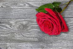 Single red wet rose on a wooden background close up. Beautiful single red wet rose with water drops on a toned rustic wooden background close up with copy space Royalty Free Stock Photo