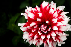 Single red and white dahlia blossom Royalty Free Stock Photos