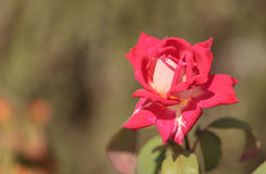 A single red and white osira rose Stock Image