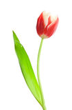 Single red-white tulip Stock Image