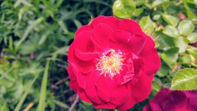 Single red wild Rose stock photos