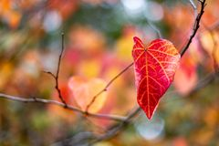 A single Red and Yellow Autumn Fall Leaves with a selective focu stock image