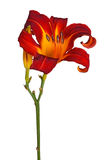 Single red and yellow flower of a daylily isolated Stock Images