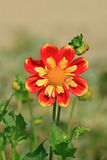 Single red and yellow flower in garden Stock Image