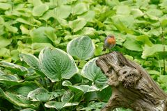 Single redbreast on a trunk. Before green background Stock Photo