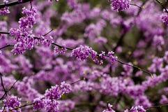 Single redbud blooms on tree Stock Image
