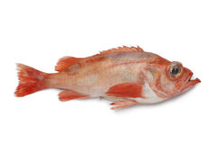 Single redfish Stock Photography